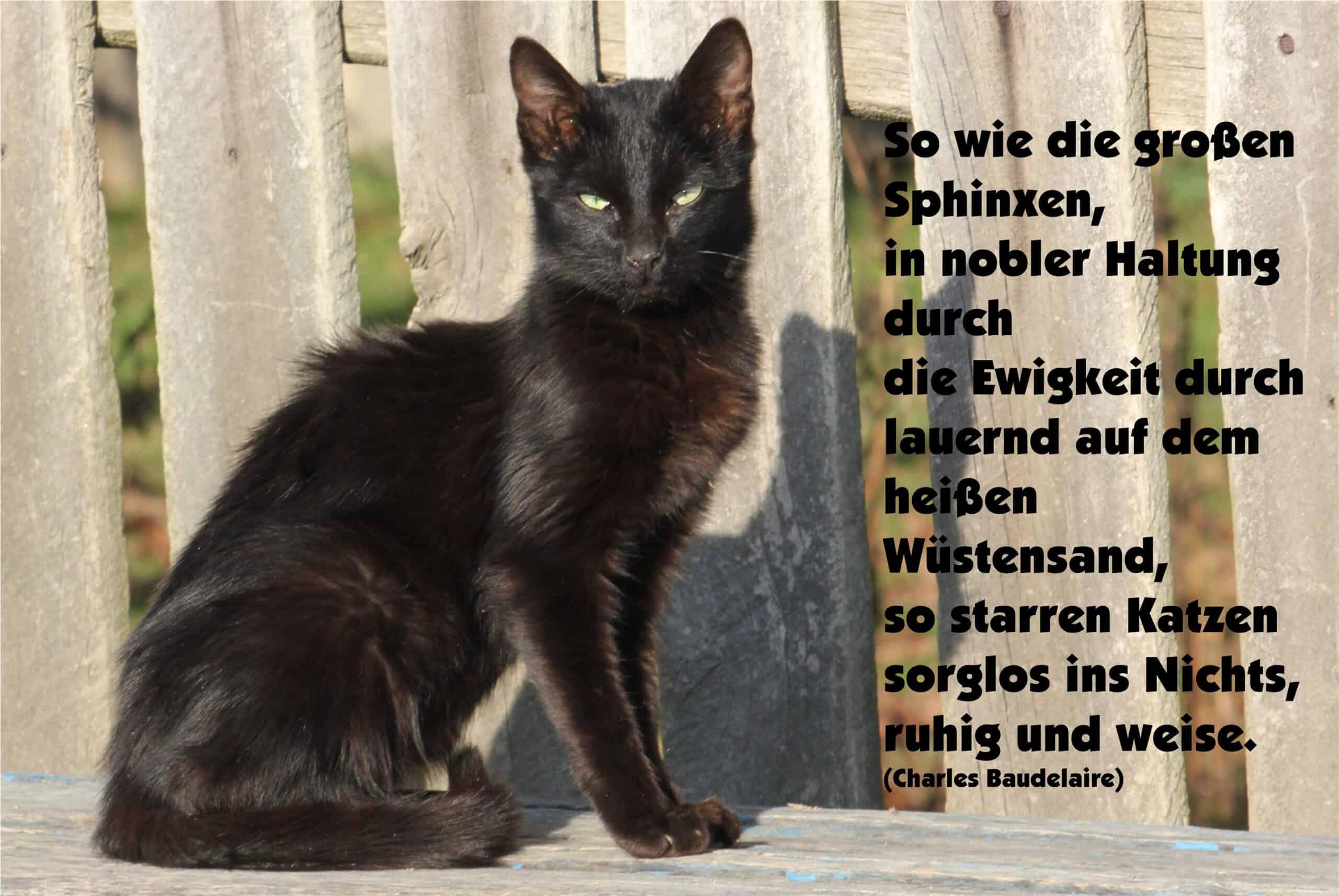 23 Katzen Sphinx